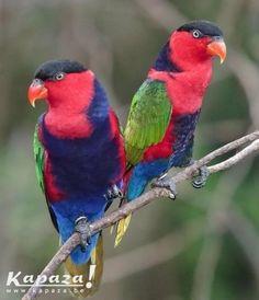 Zwartkap Lori met de hand opgekweekt, Vogels en pluimvee, Zaventem | Kapaza.be