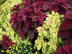 coleus - love the colors