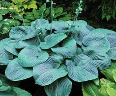 New Shade-Loving Perennial Varieties for 2013.  'Humpback Whale' Hosta is a jumbo variety ... a must have for hosta lovers.