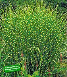 BALDUR-Garten Chinaschilf Zebragras, 1 Pflanze Miscanthus zebrinus strictus