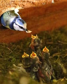 https://flic.kr/p/sJdYbS | Feeding Time... | Nest of Blue Tit chicks in my garden shed being fed by their  mum...  Explore #418, 2015-05-16