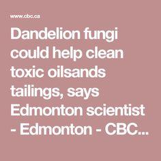 Dandelion fungi could help clean toxic oilsands tailings, says Edmonton scientist - Edmonton - CBC News