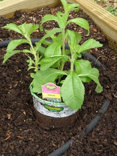 growing your own stevia plant