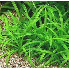 Dwarf Narrow-Leaf Sagittaria Subulata Aquarium Plant