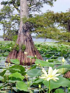 http://photos.invasiveswatch.org/Caddo_Lake_cypress_water_lily%5B1%5D.JPG
