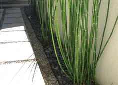 Im really loving the look of this Horsetail reed plant that seems to  radiate zen and  a clean stream feeling... Zen never looked so good.