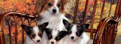 Chihuahua chien et chiots