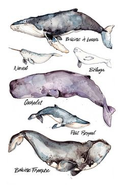 Whales Illustration Large Species Nature Animal
