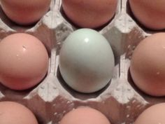 Our first blue egg means that one of our Ameraucana hens laid her first egg.