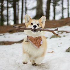 """Ellie and Teddy (@ellielovesteddy) on Instagram: """"I love that a stick can be so exciting. #happy #Ellie #corgi"""""""