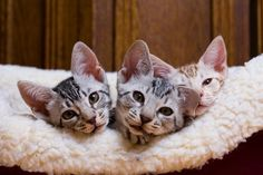 The beautiful spotted Ocicat is a domestic breed that has been selectively bred to have the exotic looks of a wild cat. Kittens Cutest, Cats And Kittens, Ocicat, Cat Breeds, Cute Animals, History, Dogs, Profile, Friends