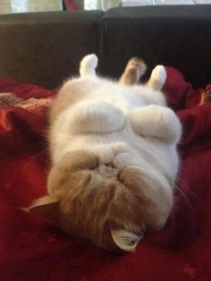 Exotic shorthair (sleeping mode - on)
