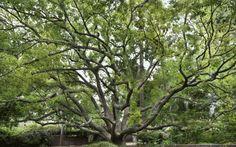 Cinnamomum camphora (Camphor tree) next door to the Marston House Museum and Garden, Balboa Park, San Diego, CA, USA