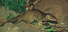 Treeshrews: Order: Scandentia, Class: Mammalia; small mammals native to the tropical forests of Southeast Asia; families: Tupaiidae (tree shrews) & Ptilocercidae (pen-tailed treeshrews); 20 species in 5 genera; have a higher brain to body mass ratio than any other mammals, including humans