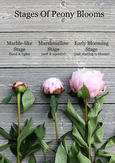 The stages of peony blooms - showing the marshmallow stage, the earliest a bud should be cut for use in a peony arrangement.