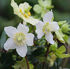 Helleborus niger Christmas rose Position: partial shade Soil: heavy, neutral to alkaline soil including heavy soil Rate of growth: average Height: 0.3m Spread: 0.45m Flowering period: January to February Fully Hardy