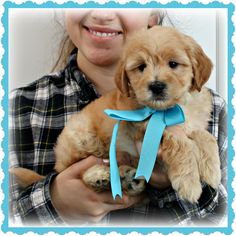 Check out our list of all upcoming Goldendoodle litters and Double Doodle litters below. Please fill out the puppy application and we will contact you. Toy Goldendoodle, Double Doodle, Breads, Doodles, Puppies, Toys, Animals, Bread Rolls, Activity Toys