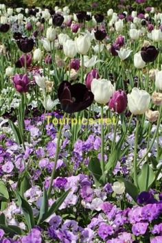 flower bed with tulips   - This picture is available without watermark on stock agencies. Please follow the link(s): https://www.shutterstock.com/de/image-photo/flower-bed-tulips-573040009 flower bed with tulips