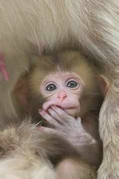 Here are some cute and adorable baby monkey pictures. All the old world monkeys are mainly found in India, Africa, Central to Southern Asia and Japan. But the new world monkeys are found in Mexico, Central and South America. Primates, Cute Creatures, Beautiful Creatures, Animals Beautiful, Cute Baby Animals, Animals And Pets, Funny Animals, Strange Animals, Wild Animals