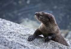 Photograph River Otter Pup Portrait by Rita Ivanauskas on 500px