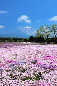 Mount Fuji and pink field, Yamanashi, Japan