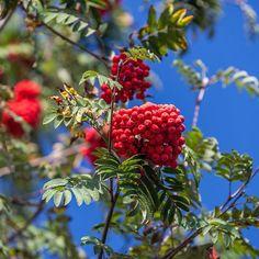 А у нас поступление самых осенних плодовых деревьев: рябины и облепихи! #рябина #осень by imperial_garden