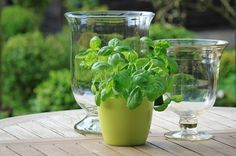 A delicious herb that is great in just about anything salad, sauces, meat...