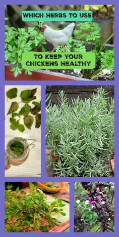 herbs keep chickens