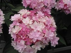 Double French Hydrangea 'You and Me Romance' (Hydrangea macrophylla)