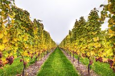 HDR picture of an alley in a vineyard near my parent's place. The region of Neuchâtel is a good Swiss wine producer. Hdr Pictures, Weekend Deals, Wine Festival, Travel Destinations, Vineyard, Switzerland, Travel Guide, Places, Alcohol