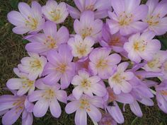 Colchicum, Autumn flowering crocus. Colchicums are poisonous, so be aware if you have small children or animals that may eat them. However they start flowering when everything else is starting to give up and die down. So hey are well worth having in any garden. Plant them in gaps in the SPring and wait until the Autumn to enjoy the display. http://plantplots.com/product-category/products/