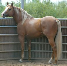Quarter Horse stallion Yellow Jersey