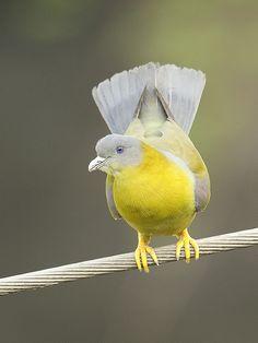 Yellow Footed Green Pigeon by Prerna02, via Flickr #cuudulieutransang | cuu du lieu, cap cuu du lieu, phuc hoi du lieu, khoi phuc du lieu, cứu dữ liệu, cấp cứu dữ liệu, phục hồi dữ liệu, khôi phục dữ liệu, cuu du lieu tran sang, cứu dữ liệu trần sang, cong ty cuu du lieu tran sang, công ty cứu dữ liệu trần sang | http://cuudulieutransang.wix.com/trangchu