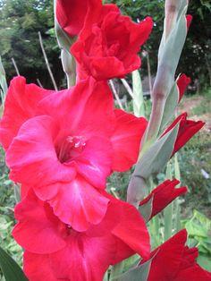 Raccontare un paese: gladioli...