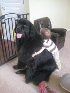 Mila the HUGE Newfie