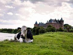 Koe op dijk in #Muiden. Op de achtergrond het Muiderslot. #gooisemeten