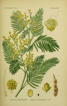 THE MIMOSA TREE - Acacia dealbata |The Garden of Eaden.  -Garden of Eaden......