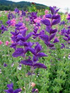 Marble Arch Salvia | Uprising Organics