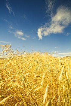 Gold is just a windy Kansas wheat field, blue is just a Kansas summer sky.....John Denver