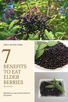 7 main benefits of elderberries that will change your view on this powerful herb Natural Health Remedies, Herbal Remedies, Home Remedies, Herbs For Health, Holistic Nutrition, Holistic Care, Natural Parenting, Growing Herbs, Natural Healing