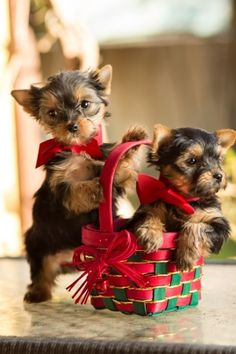 Christmas puppies Yorkies                                                                                                                                                                                 Plus