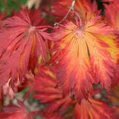 Buy full-moon maple Acer japonicum 'Aconitifolium' - Can be trained as a shrub or tree: Delivery by Waitrose Garden in association with Crocus Small Trees For Garden, Garden Trees, Garden Plants, House Plants, Full Sun Shrubs, Trees And Shrubs, Trees To Plant, Acer Garden, Acer Trees