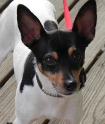 Mikey is an adoptable Toy Fox Terrier Dog in Randolph, NJ. Loving, sensitive, gentle little boy with eyes that will melt you. 9 lbs, 2 and a half years old. This breed is known for being long-lived, f...