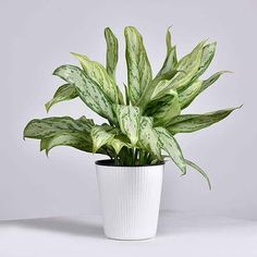 22 Stunning Aglaonema Varieties | Chinese Evergreen Types Persian Shield Plant, Indore Plants, Chinese Evergreen Plant, Lucky Plant, Air Cleaning Plants, Backyard Garden Design, Flower Show, Types Of Plants, Calla Lily