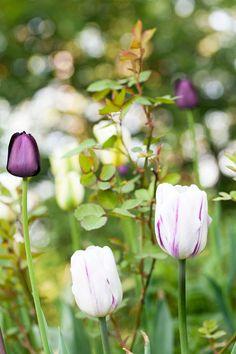 Triumftulpanen 'Rem's Favorite' i vitt med diskreta lila strimmor ger ett ljust intryck samtidigt som de lila strimmorna gör den intressant och drar blickarna till sig. En suverän tulpan som både kan spela en underordnad roll tillsammans med andra tulpaner eller vara det huvudsakliga inslaget. Plantera den gärna tillsammans med vita och lila tulpaner. En tulpan med liknande färgsättning är 'Flaming Flag', också den en triumftulpan.