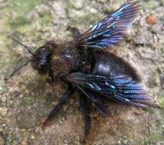 Xylocopa violacea mâle