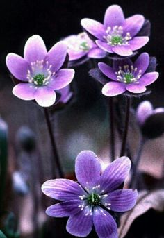 Hepatica  ViIolet Early Spring