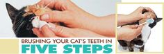 Brushing your cat's teeth (or you can pay a $500 vet bill)