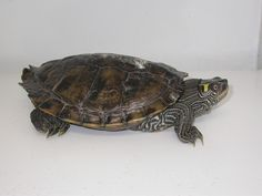 Turtle - Map Tortoises, Turtles, Reptiles, Map, Cards, Animals, Tortoise, Turtle, Animaux
