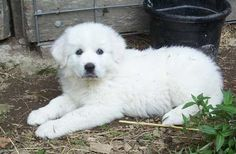 Great Pyrenees puppy.... aww looks like Lago and Bacardi when they were just wee lil things!
